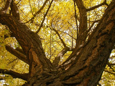 yellowtrees.jpg